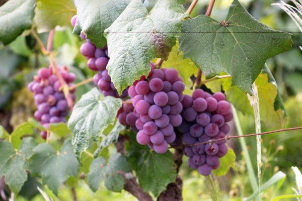 Virginia Wineries with an International Twist: Virginia Vineyard Month, Pt. 2